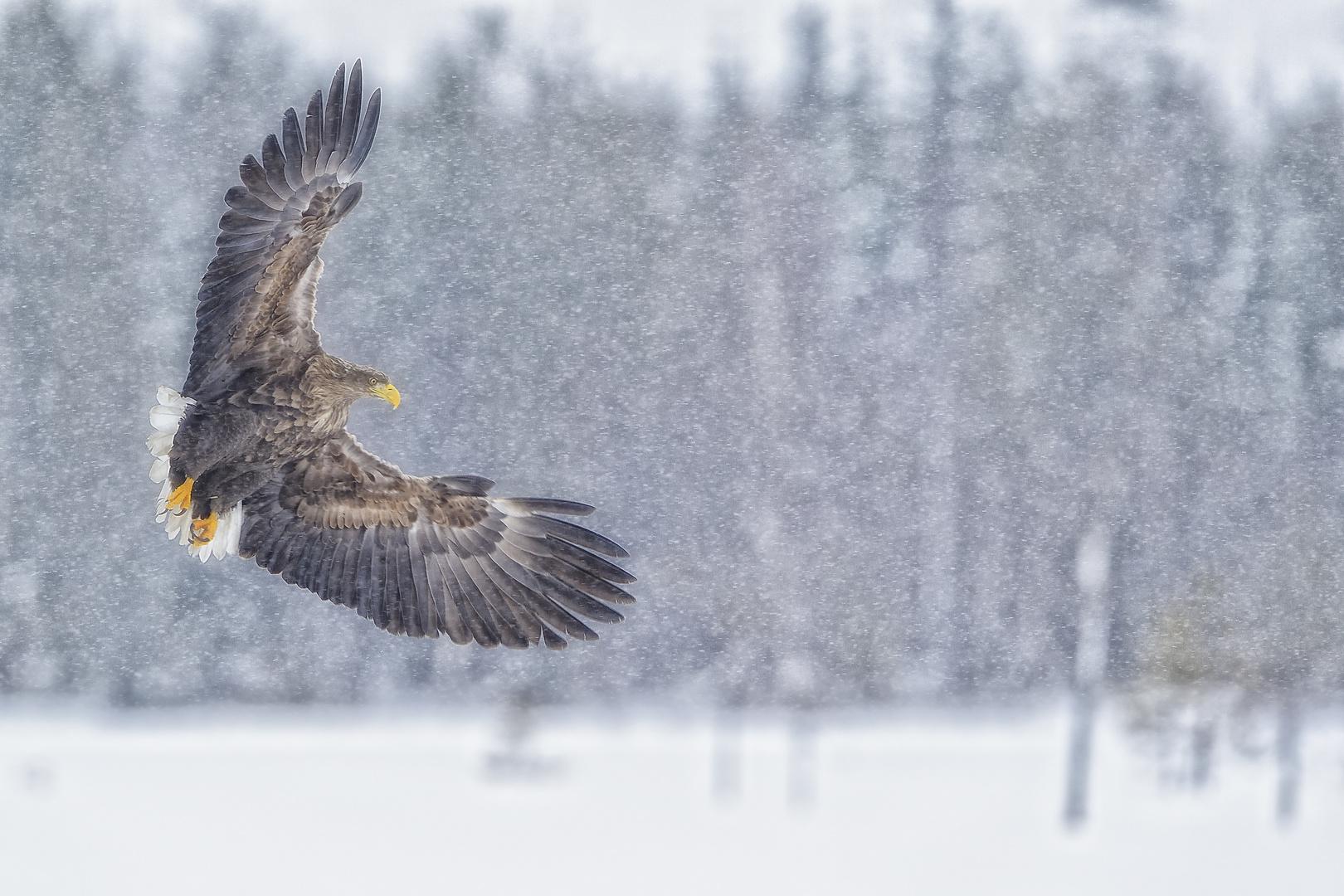 Adler im Flockenwirbel