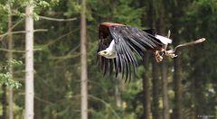 Adler im Fluge