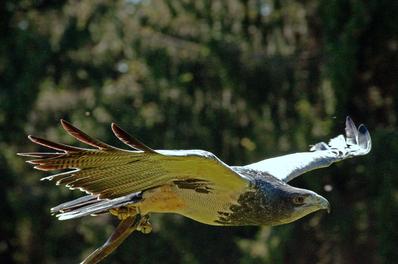 Adler im Gleitflug