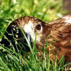 Adler im Grass