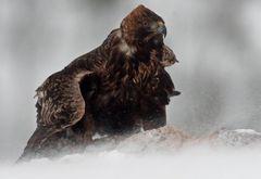 Adler im Scheesturm