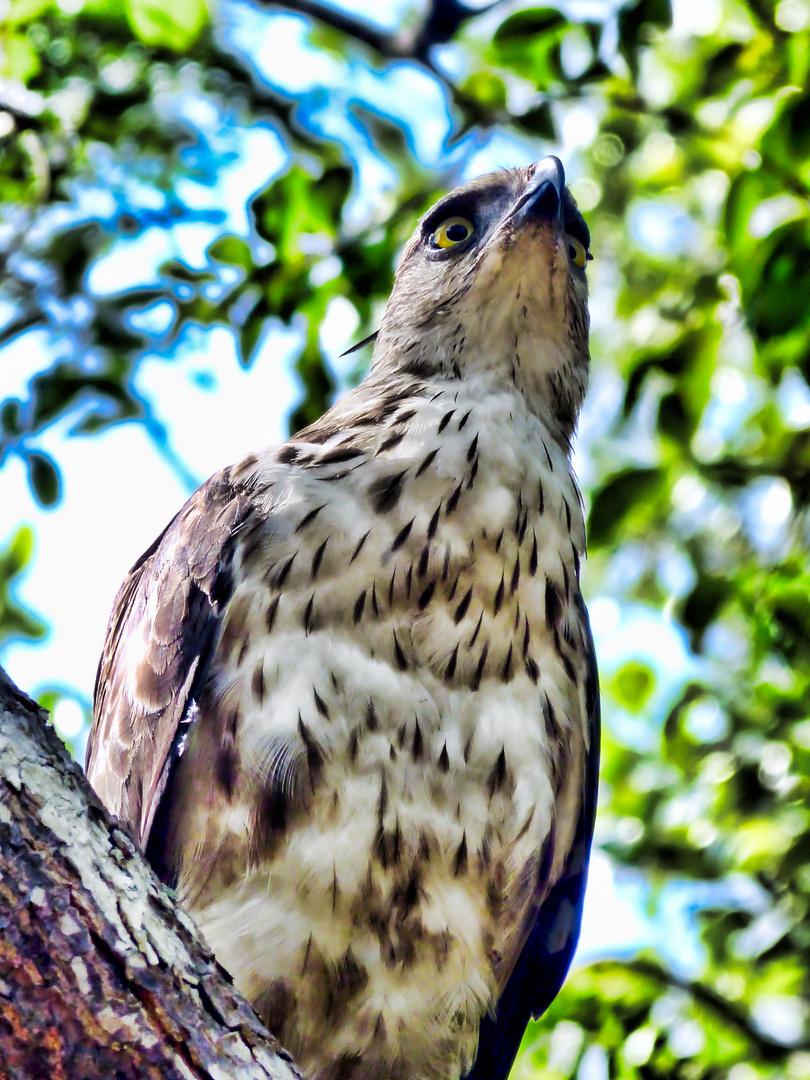 Adler im Wilpattu Nationalpark