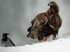 Adler im Winter -- ich hab gesagt hau ab --
