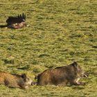 Adler jagd Wildschweine