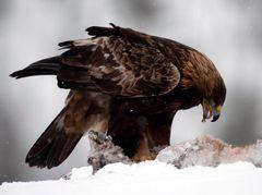 Adler mit der Beute