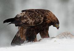 Adler mit der Beute IV