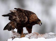 Adler mit der Beute V