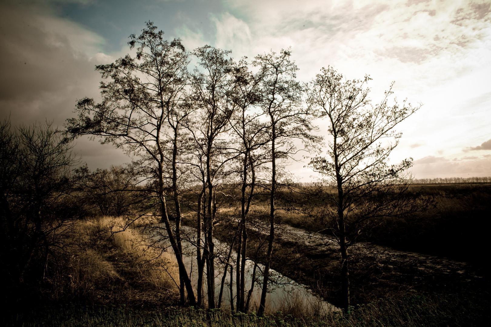Adler trees in Winter light