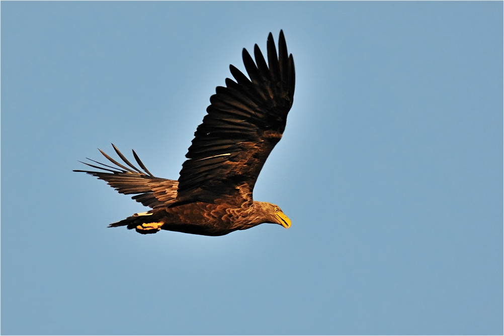 Adler über dem Elbe-Seitenkanal