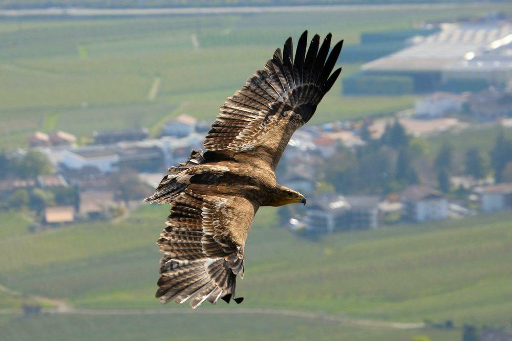 Adler über Meran
