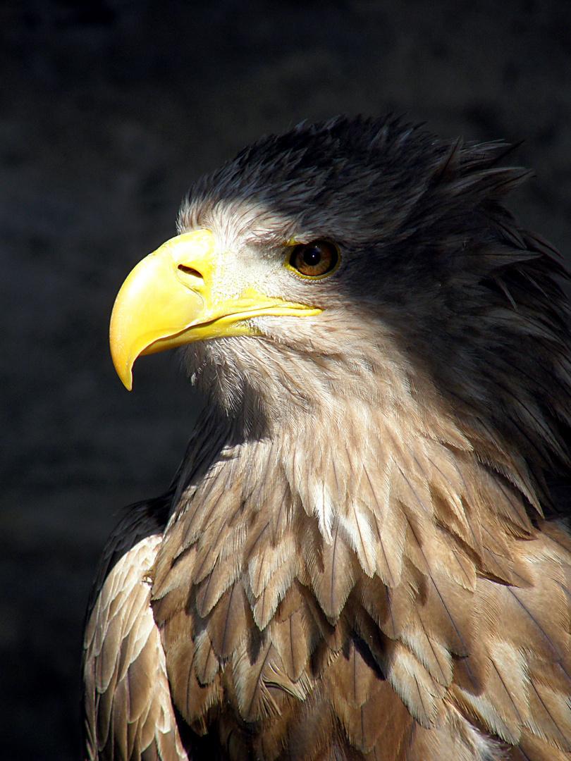 Adler - unheimlich und doch faszinierend