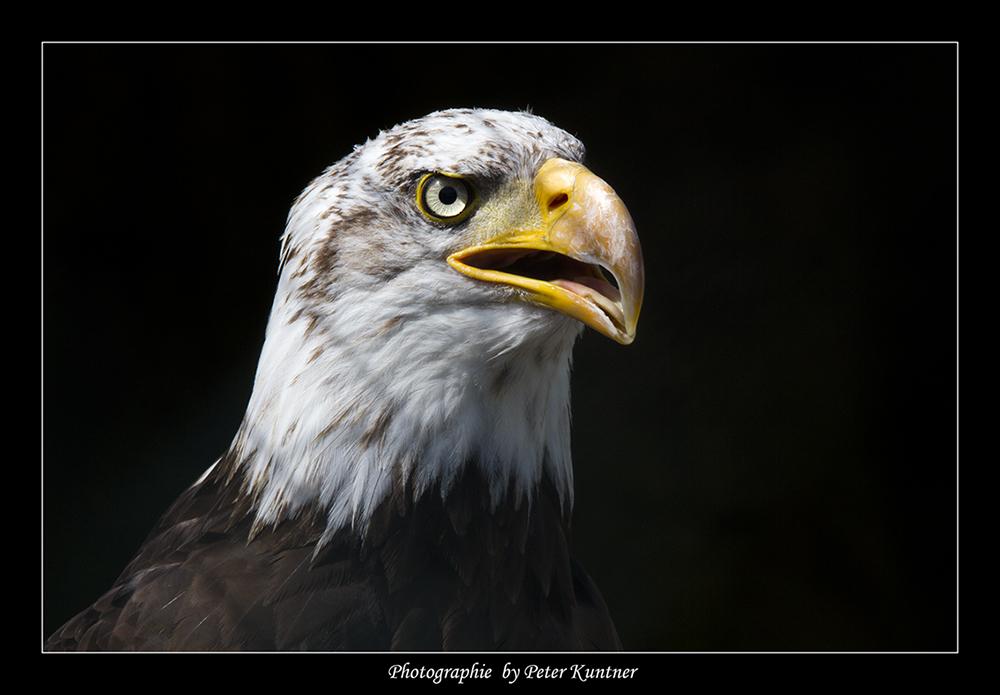Adler von der Riegersburg