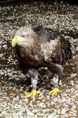 Adler - Wildgehege Hellenthal
