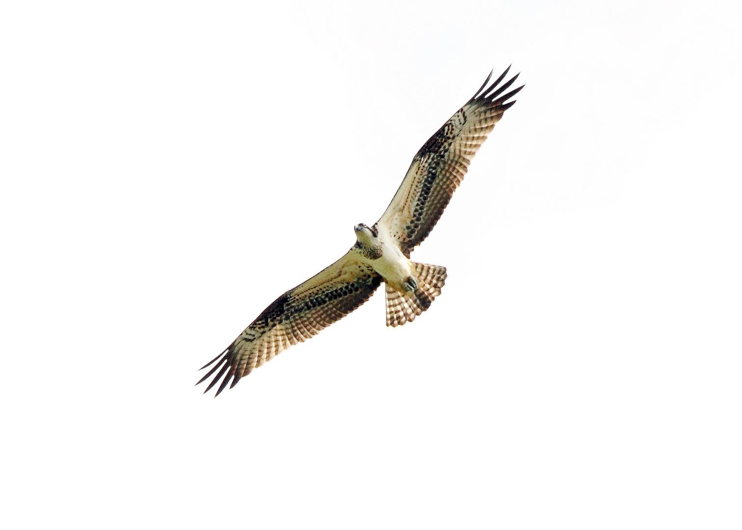 Adlerbussard ( oder ein Fischadler )