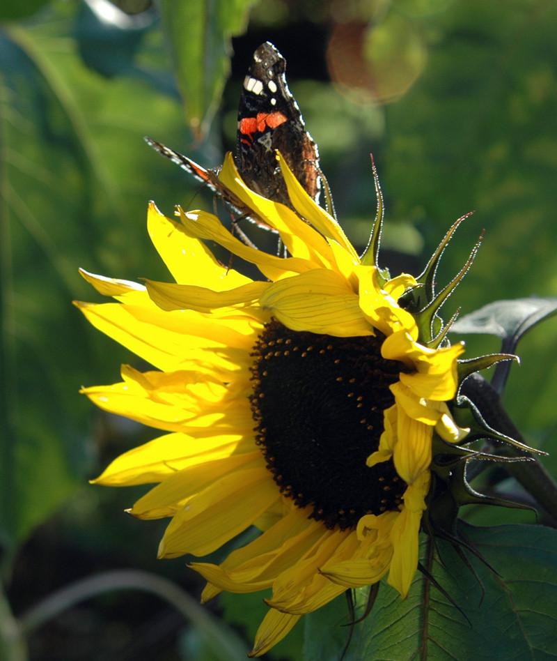 Admiral auf Sonnenblume