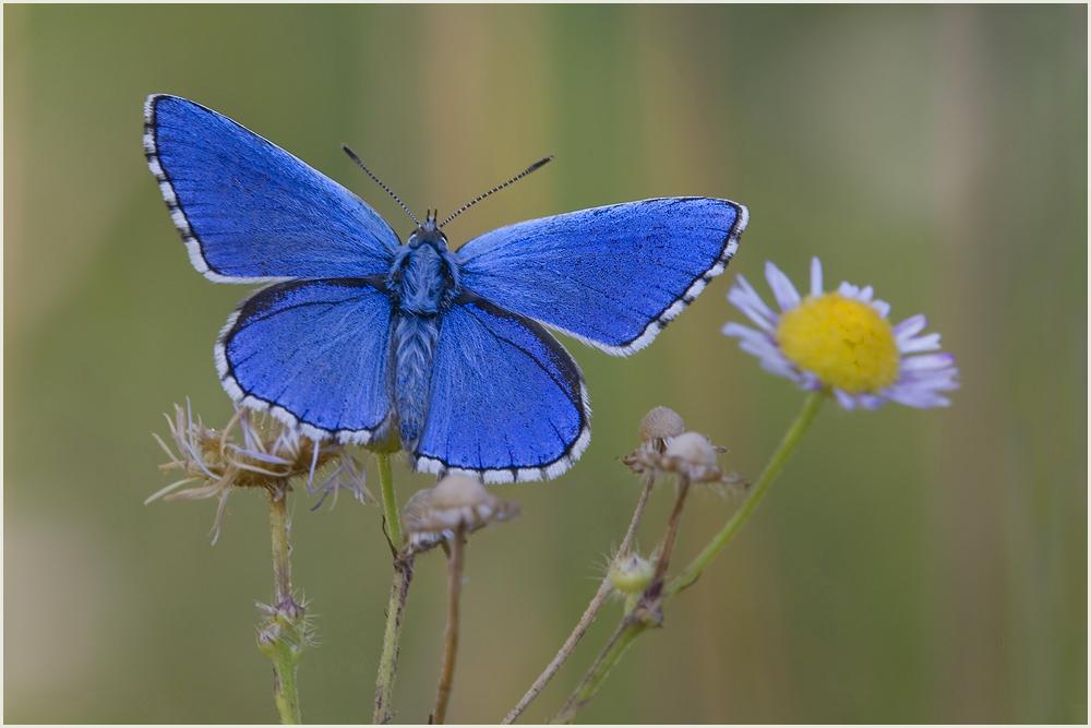 ~ Adonis blue ~