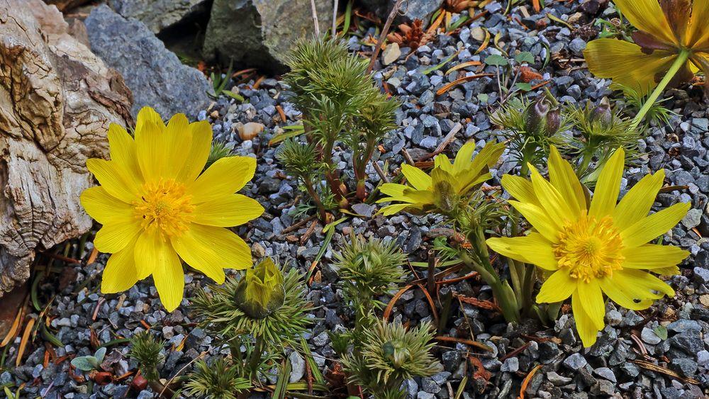 Adonis vernalis - Adonisröschen im Garten seit vielen Jahren...