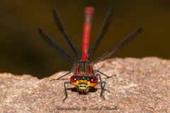 Adonislibelle (Pyrrhosoma nymphula)