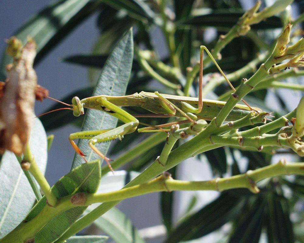 Adulte Mantis religiosa lauert im Oleander