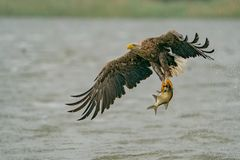 Adulter Seeadler mit Fangerfolg