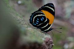 Aegina Numberwing Callicore lyca aegina , Family - NYMPHALIDAE