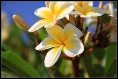 Ägyptische Blüte