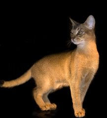 Ägyptische Katze - lebendig!