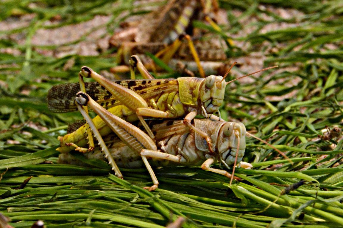 Ägyptische Wanderheuschrecken