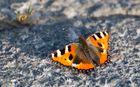 Äh, äh, de Schmettergage! Schmetterling beim Sonnenbad