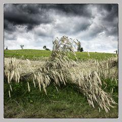 .....Ährenfeld nach einem Gewitter.....