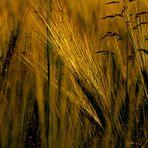 Ährengold im Goldenen Schnitt... (Reife ist wertvoll)