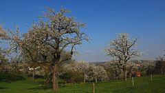 Ältere Obstbäume wie ich sie mit ihren gewaltigen Stämmen und ....
