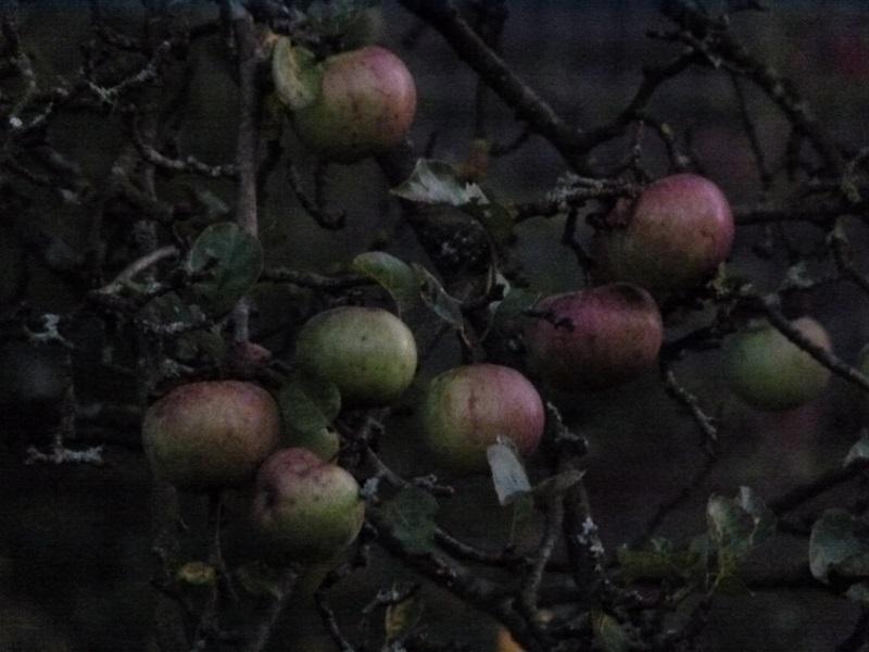 Äpfel im Zwielicht, war fast Dunkel