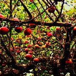...Äpfel in den Zweigen....