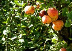 Äpfel suchen Abnehmer