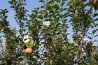 Äpfel u. Blüten nebeneinander