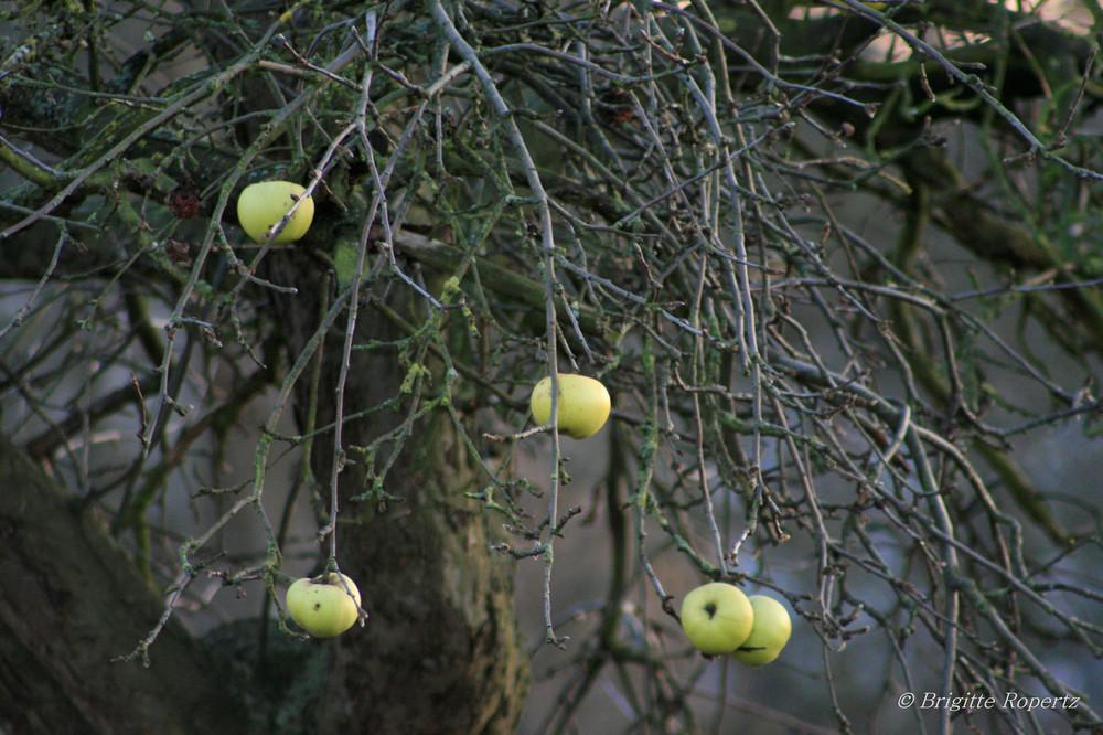 Äpfel vor dem Fall ...