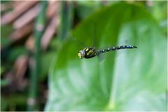 Aeschne bleue mâle (2) Aeshna cyanea