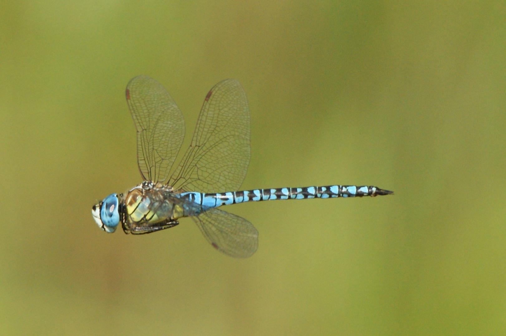 Aeshna affinis,Südliche Mosaikjungfer