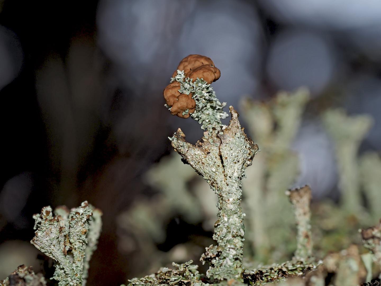 Ästige Becherflechte (Cladonia ramulosa)* - Les lichens se trouvent dans la forêt même en hiver...