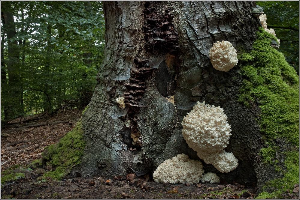 Ästiger Stachelbart (Hericium coralloides)