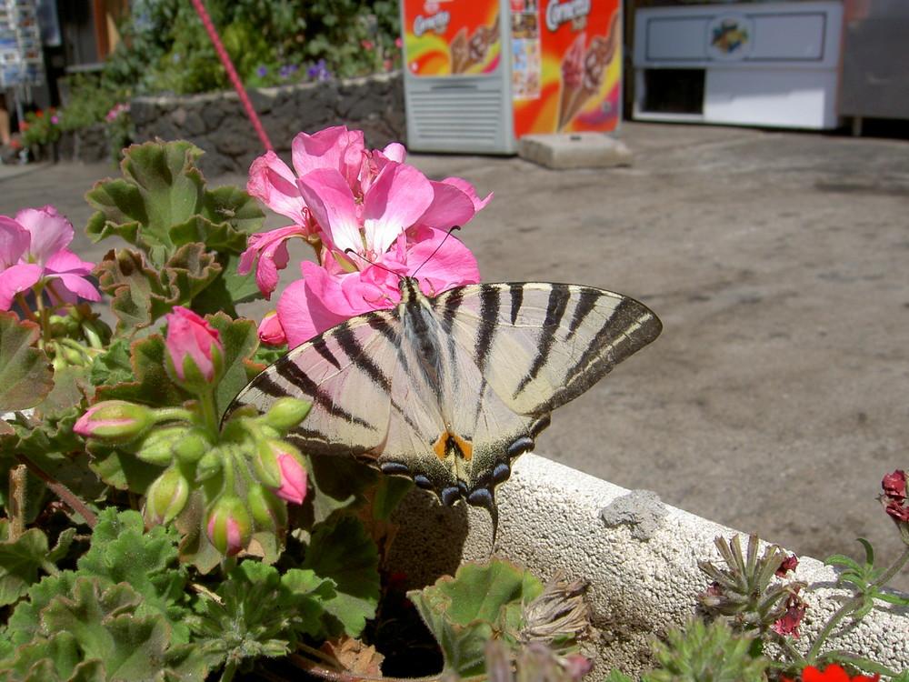 aetna-butterfly