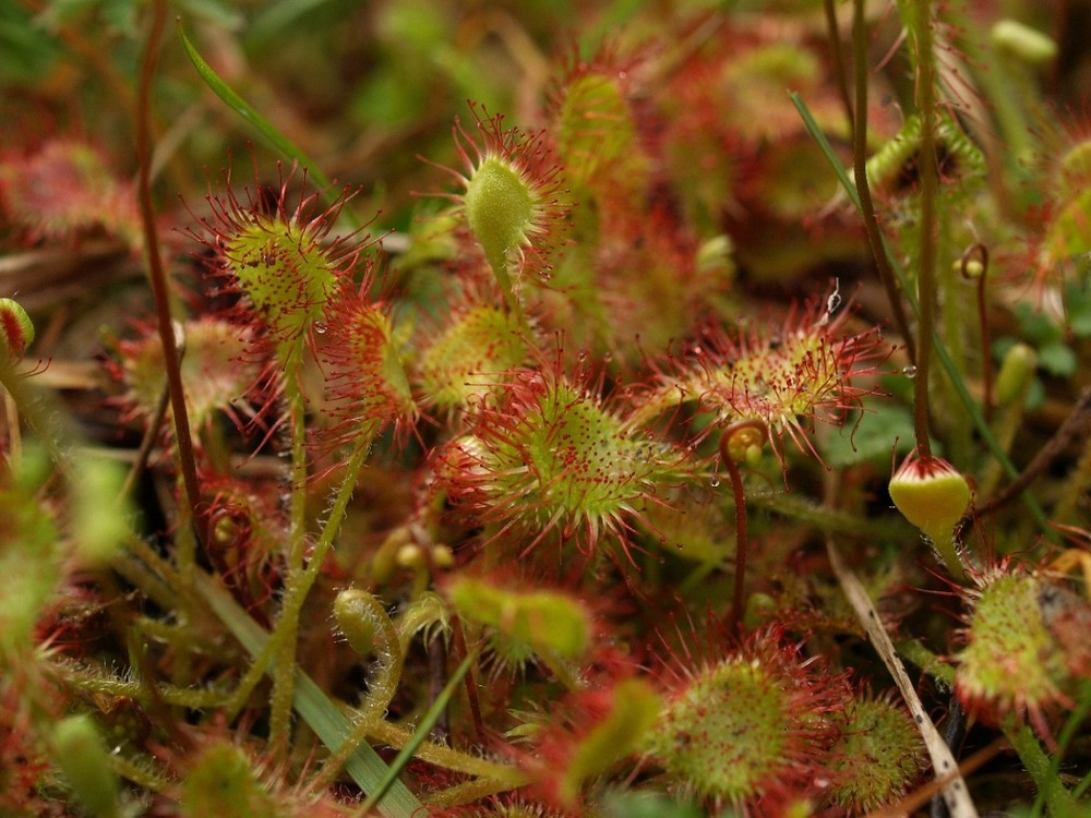 affamato - Drosera rotundifolia