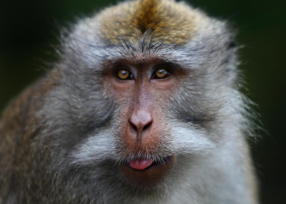 Affe auf Bali