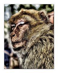 """Affe auf Gibraltar ----oder doch """"Jacko""""?"""