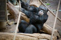 Affe beim klettern