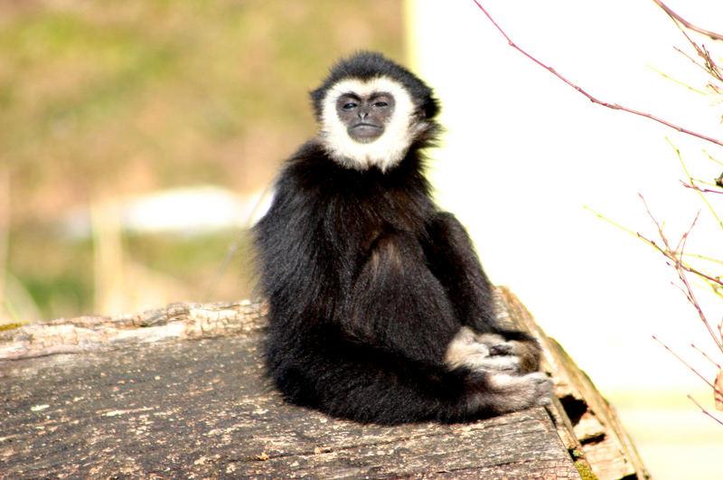 Affe beim Sonnenbad