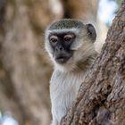 Affe im Chobe Nationalpark