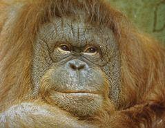 Affe im Kölner Zoo