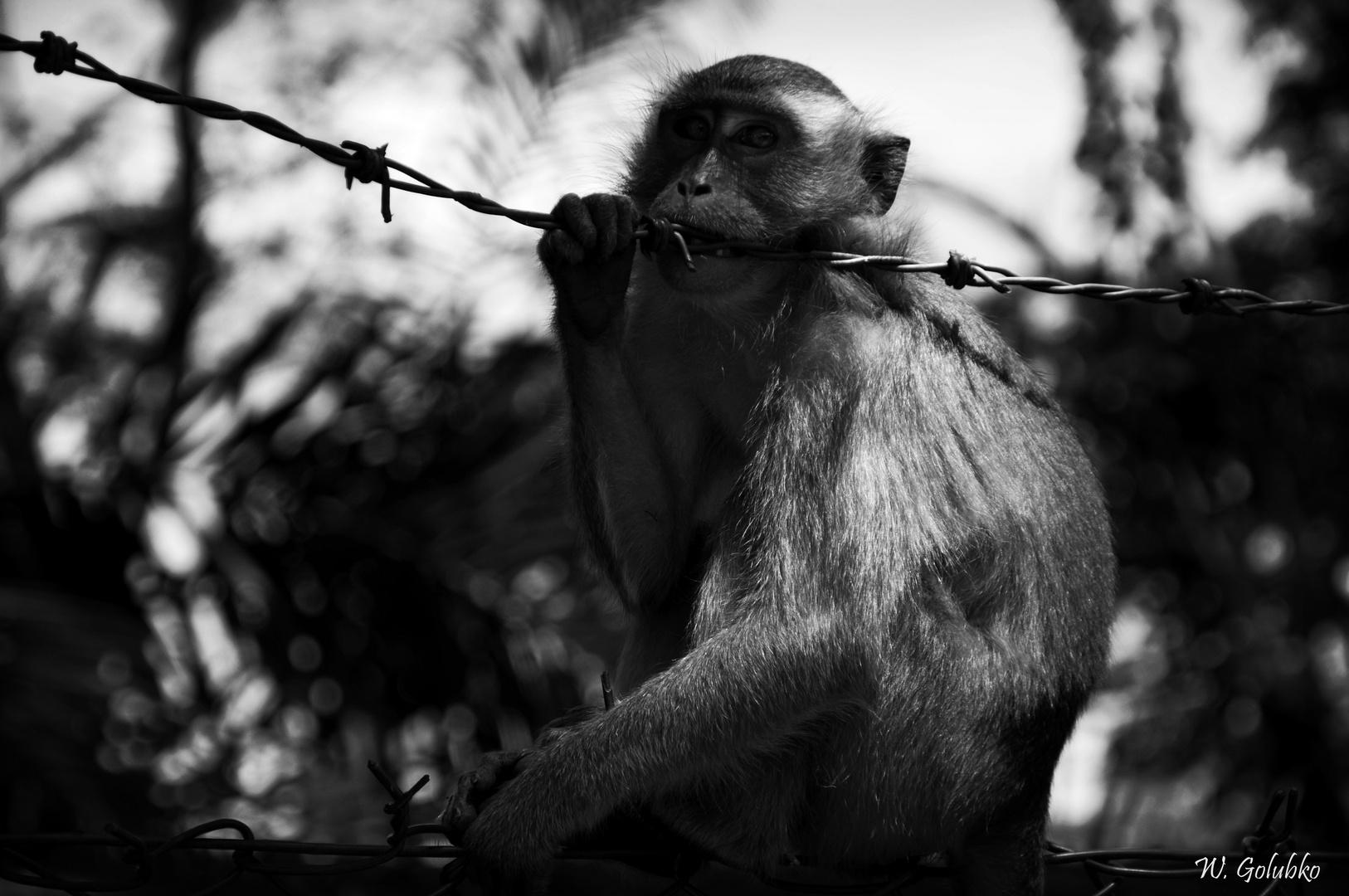 Affe in Kuala Lumpur am Straßenrand